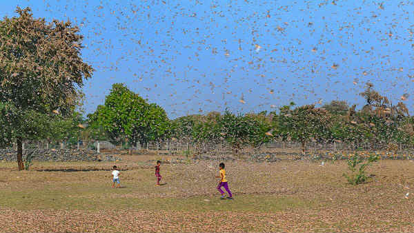 Swarm of locust enter Anantapur and soon to enter Adilabad from Maharashtra