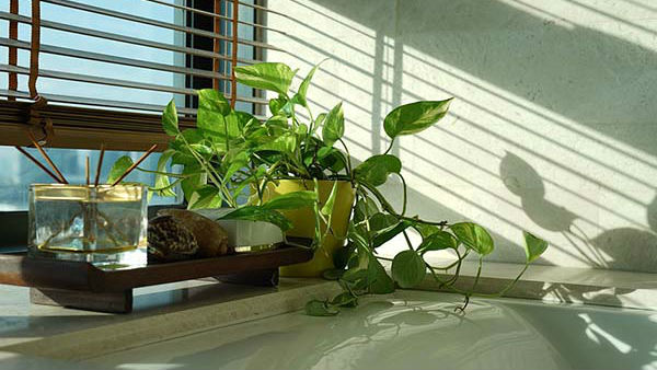 Why Is Money Plant Grown Indoors Does It Put An End To Finacial Crisis