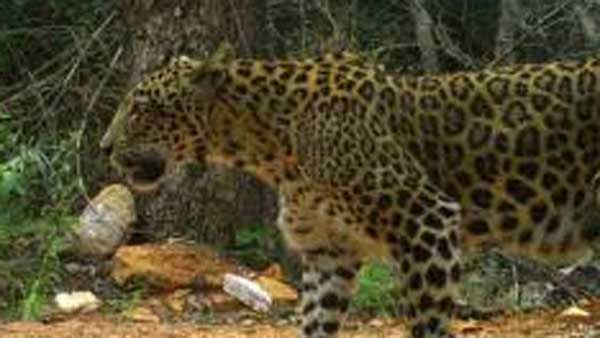 leopard attacks a man on bike in tirupati