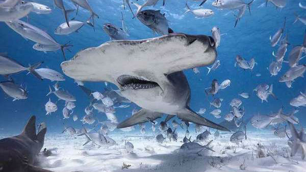 COVID-19 Vaccine Can Lead to Killing of Half a Million Sharks on The Planet