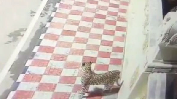 another leopard spotted at tirumala near museum complex