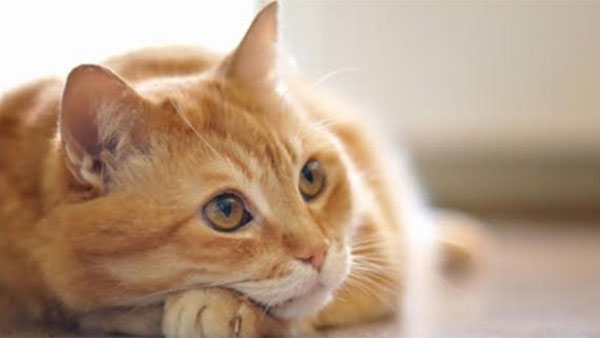 Drugs used for covid affected cats will work for humans also,says a study
