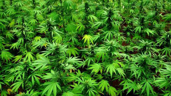 Goa govts law department gives nod for ganja cultivation