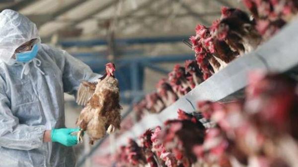 కరోనా కంటే 70%డేంజర్ బర్డ్ ఫ్లూ -మనుషులకు సోకితే చావు ఖాయం -అసలేంటీ H5N1 -చికెన్ తింటే అంతేనా?