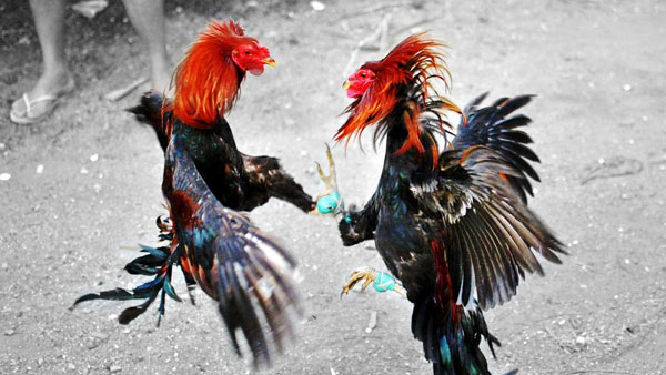 cock fight bettings continues second day in ap with three tier protection