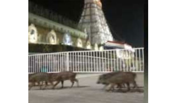 number of Pigs roaming near the Lord Venkateswara temple premises at Tirumala