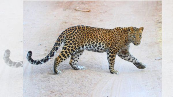 panic grips asifabad district after leopard attack cattle in penchikalpet