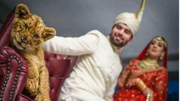 viral video:సింహం కూనపై కౄరత్వం -మత్తు ఇచ్చి వెడ్డింగ్ ఫొటో షూట్ -పాకిస్తాన్ జంటకు శాపనార్థాలు