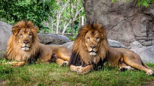 షాకింగ్:Hyderabad Zoo Parkలో పానిక్ -8సింహాలకు Covid పాజిటివ్ -దేశంలో తొలిసారి -మనుషుల నుంచే సోకిందా