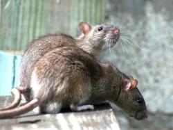 Kurnool Rs 60 Lakh Spent Catch 300 Rats